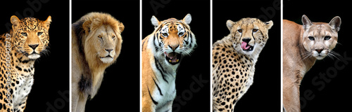 Fotobehang Puma Five big wild cats