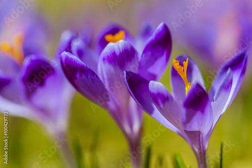 Poster Iris Crocuses in the Tatra Mountain, first springtime flowers