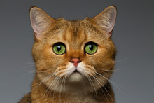 Closeup Golden British Cat With Green Eyes On Gray