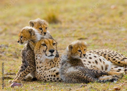 Mother cheetah and her cubs in the savannah. Kenya. Tanzania. Africa. National Park. Serengeti. Maasai Mara. An excellent illustration.