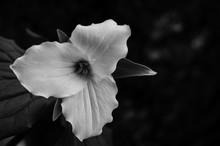 Black And White Trillium Flowe...