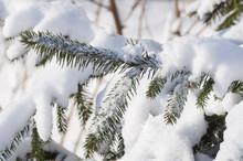 Winter .zimnyaya Nature, Plants In The Snow,