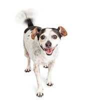 Happy Crossbreed Dog Wagging Tail