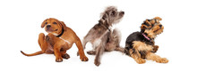 Three Itchy Dogs Scratching Horizontal Banner