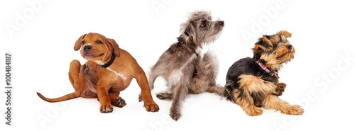 Poster Chien Three Itchy Dogs Scratching Horizontal Banner