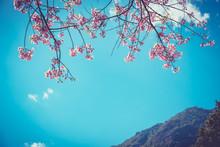 Cherry Blossom Or Sakura Flower With Blue Sky