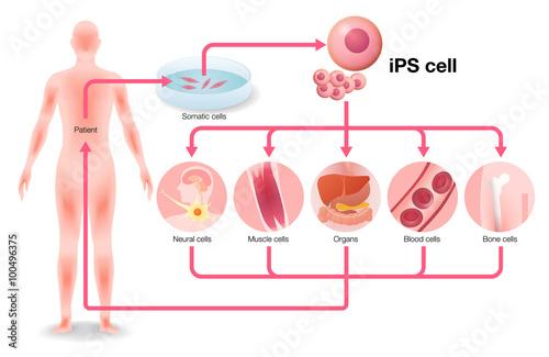 Fotografie, Obraz  induced pluripotent stem cell (iPS cell) and regenerative medicine, vector illus