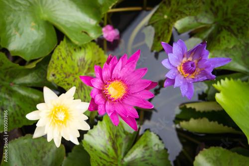 Foto  Purple lotus