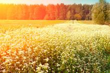 Buckwheat Field At Sunset