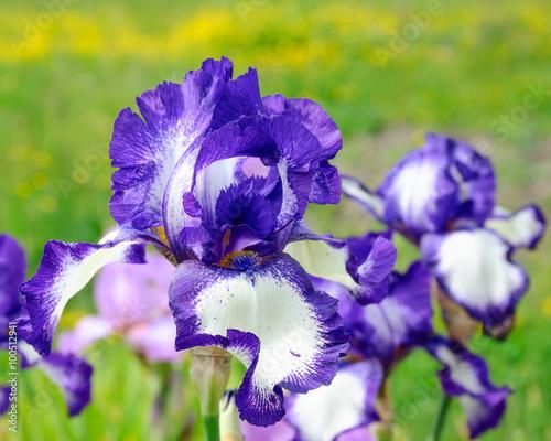 Spoed Foto op Canvas Iris Iris flower lilac