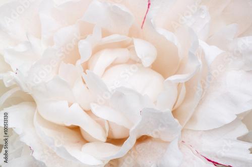 fototapeta na lodówkę close up of white peony flower