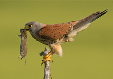 Common Kestrel With Mouse In Green Background, Hungary, Europe