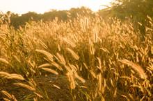 Backlit Foxtails Grass Under Sunshine