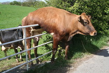 Cow Stuck On Gate And Just Han...