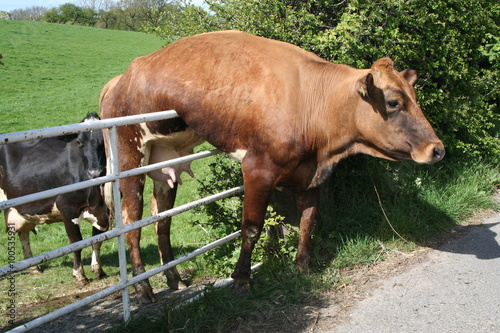 Foto op Aluminium Koe Cow stuck on Gate and just hanging there.