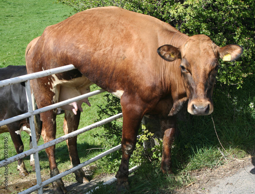 Foto op Plexiglas Koe Cow stuck on Gate and just hanging there.