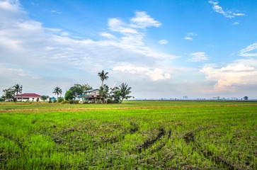 Fototapeta na wymiar House in the middle of a paddy farm