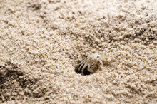 Beach Crab Coming Out Of Hole