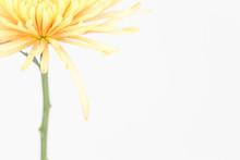 Pastel Yellow Spider Mum Flower
