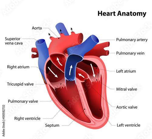 Fotografía  heart anatomy