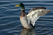 Mallard Duck Drake Spreading Wings