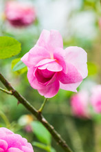 Gertrude Jekyll Rose Or Pink R...
