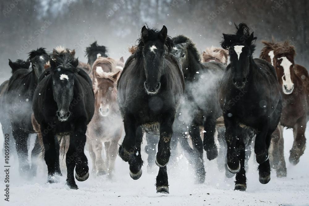 Fototapety, obrazy: Grupa koni biegających na śnieżnym polu