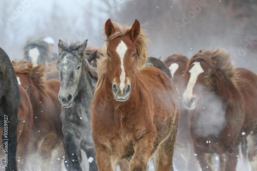 Obraz w ramie Stado koni w biegu