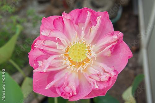 Staande foto Lotusbloem big pink lotus in clay pot