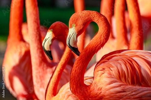 Aluminium Prints Flamingo Flamboyance of Flamingos