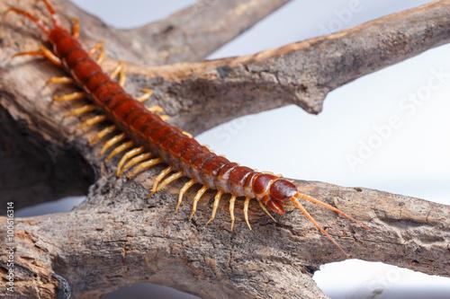 Fotografia centipede