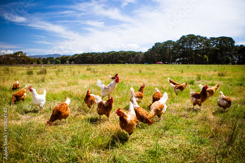 Printed kitchen splashbacks Meadow Chickens In A Field
