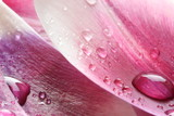 Krople wody na płatku tulipana