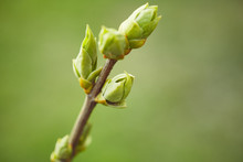 Green Buds