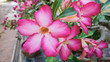 Tropical flower Pink Adenium. Desert rose.