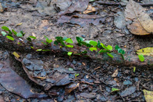 Leafcutter Ants In A Jungle Of National Park Madidi, Bolivia