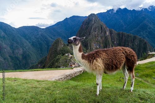 Poster Lama Lama at Machu Picchu ruins, Peru