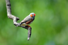 Zebra Finch Exotic Bird Sit On...