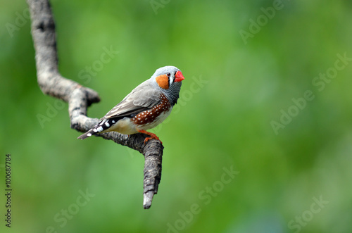 Photographie Zebra finch exotic bird sit on a tree branch