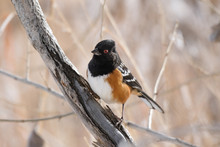 Spotted Towhee Perching On Bra...
