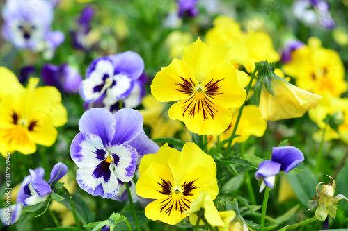 Papiers peints Pansies Flowers pansy