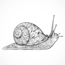 Snail. Vintage Hand Drawn Vect...