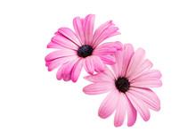 Violet Pink Osteosperumum Flower Daisy Isolated
