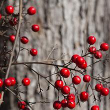Branch Of Bright Red Nandina Domestica Berries