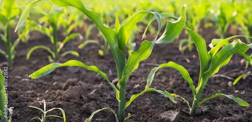 Fotografía  corn field in spring