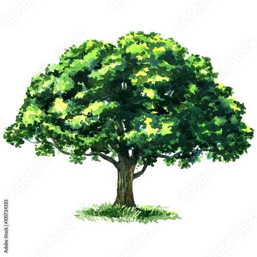 zielony-drzewny-dab-odizolowywajacy-na-bielu