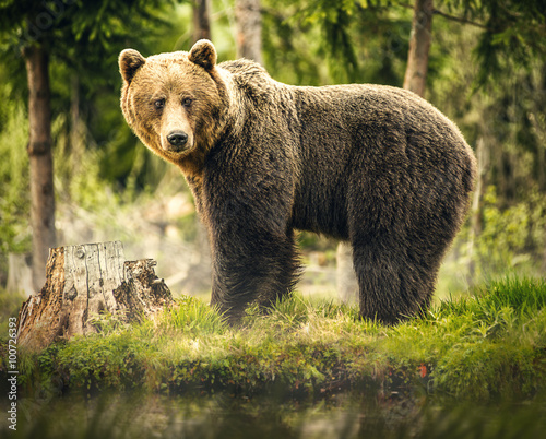 Vászonkép Bear in nature, wildlife, brown bear in forest, meeting with bear, big bear, ani