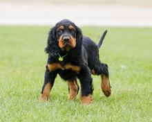Gordon Setter Puppy Looking Sc...