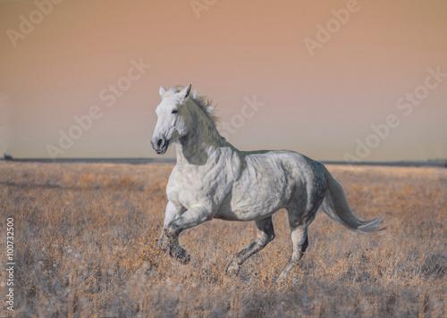 Obraz w ramie Gray horse run forward on the field in the evening