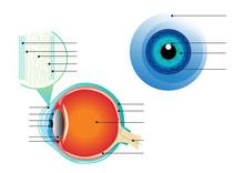 Cross Section Of Human Eye